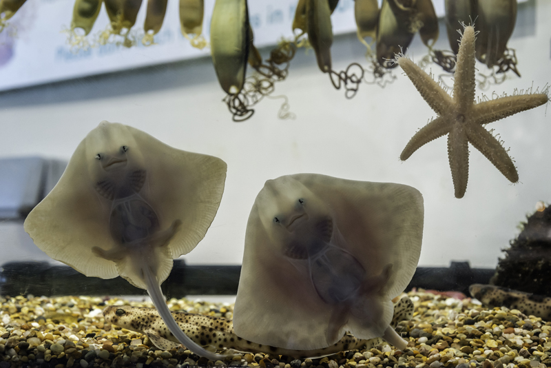 Baby rays at Macduff Marine Aquarium