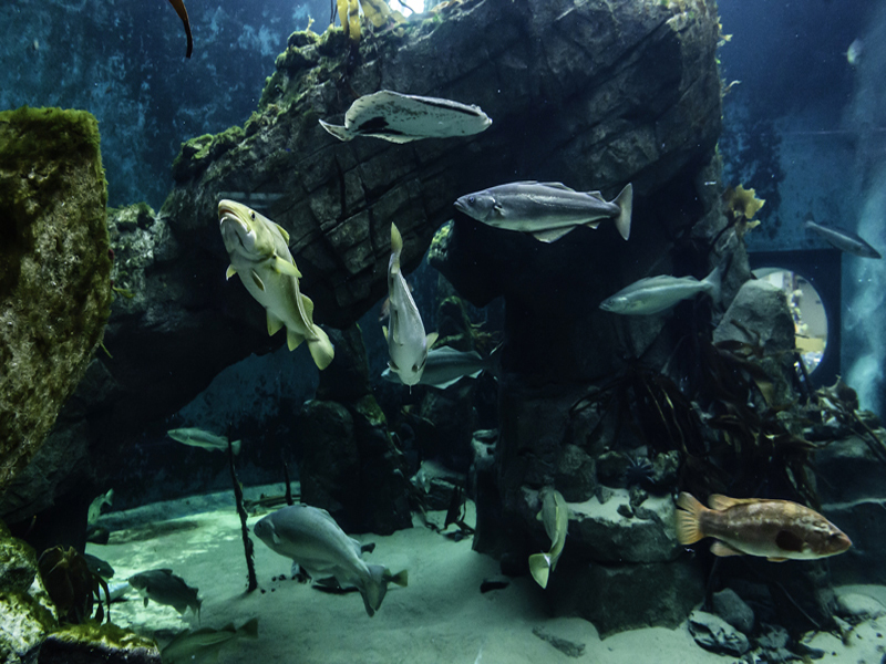 The kelp reef is home to over 100 fish