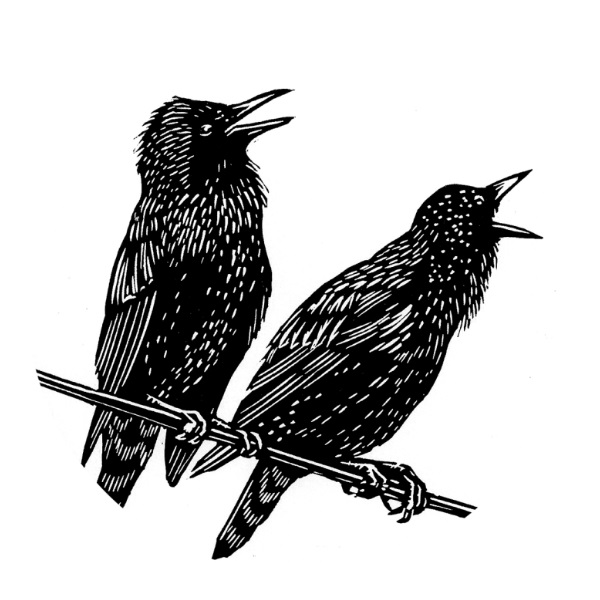 two starlings by Bryan Angus